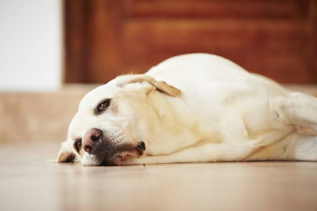 Tanda – tanda Penuaan Pada Anjing