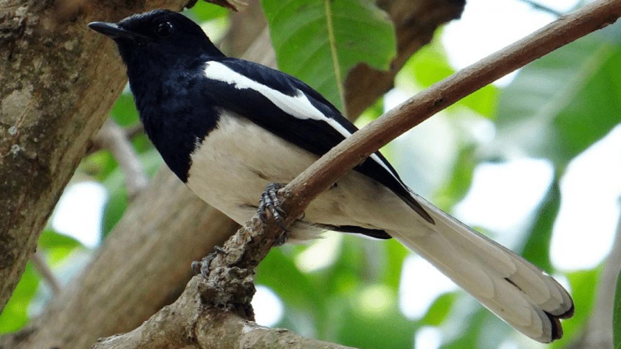 9 Manfaat Pisang Pada Burung Kacer Arenahewan Com