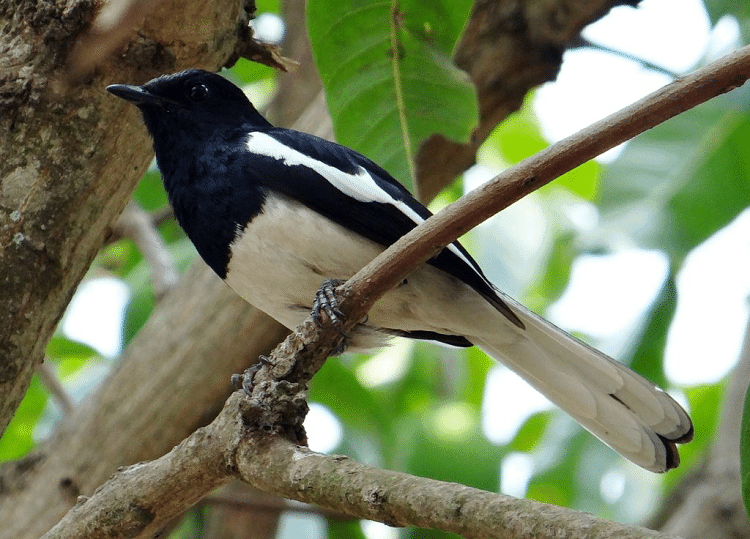 9 Manfaat Pisang Pada Burung Kacer