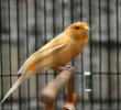 8 Manfaat Apel Pada Burung Kenari