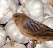 8 Manfaat Bawang Putih Pada Burung Kicau