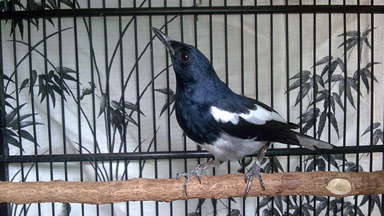 8 Manfaat Mandi Malam Pada Burung Kacer Arenahewan Com
