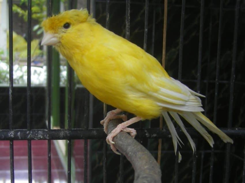 9 Manfaat Madu Pada Burung Kenari