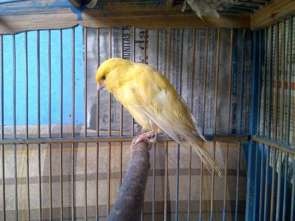 8 Manfaat Jagung Pada Burung Kenari