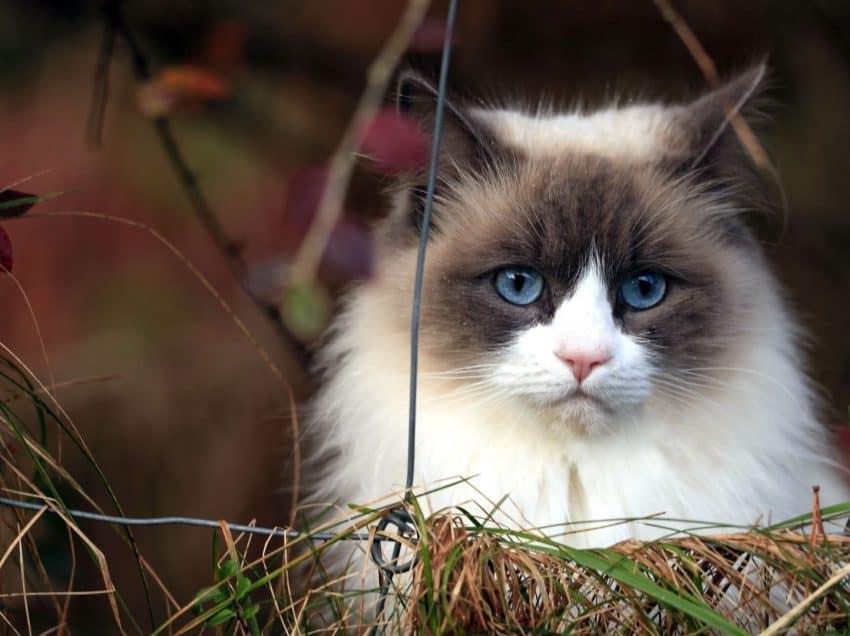 8 Cara Menghilangkan Kotoran Mata Pada Kucing Persia