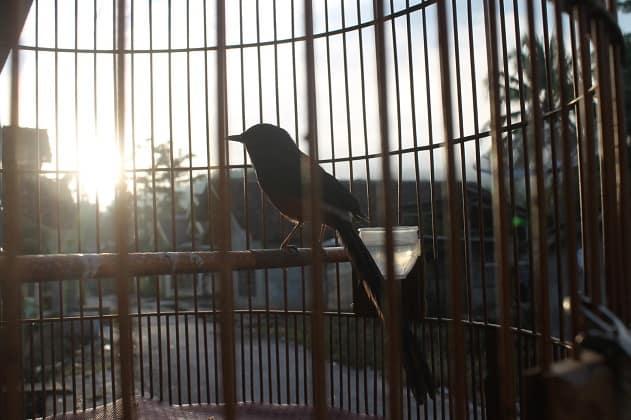 8 Manfaat Pengembunan Pada Burung Kenari