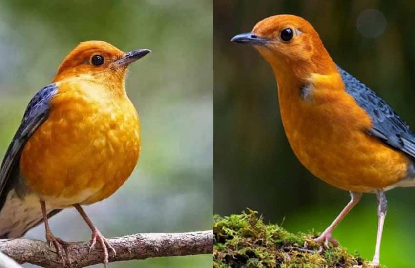 12 Cara Merawat Burung Anis Merah Agar Cepat Bunyi