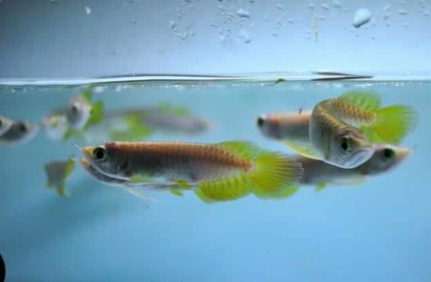 12 Cara Merawat Ikan Arwana Kecil