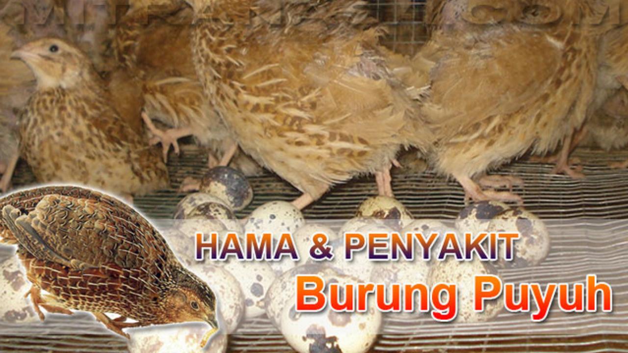9 Macam Penyakit Pada Burung Puyuh Arenahewan Com