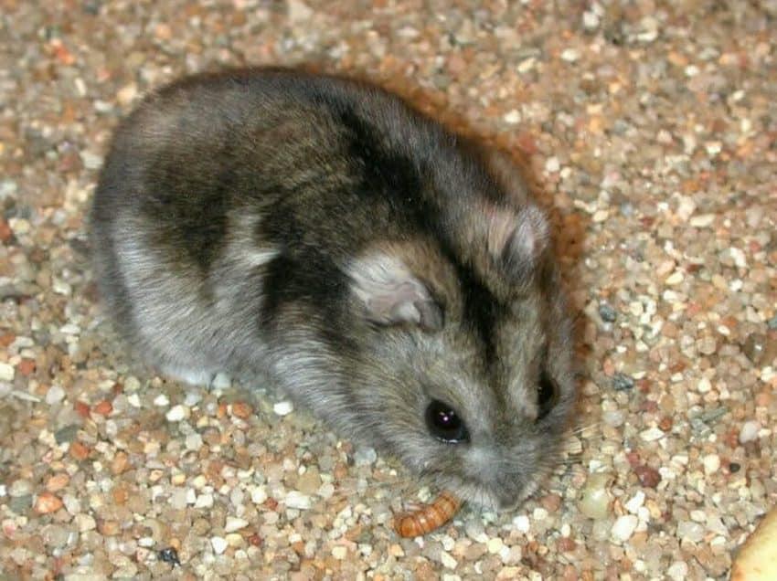 12 Cara Merawat Hamster Campbell
