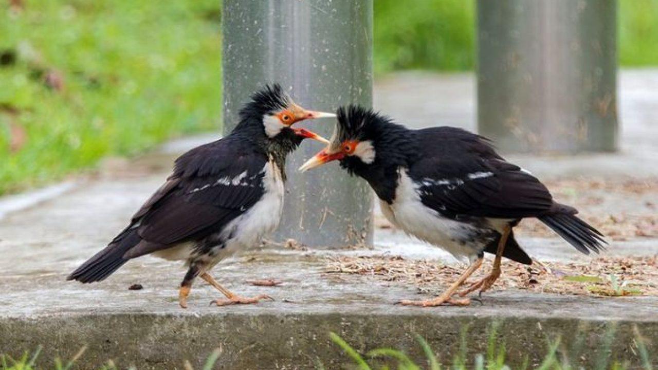 12 Cara Mengatasi Burung Jalak Suren Stres Arenahewan Com