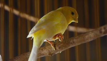 7 Macam Penyakit Burung Kenari