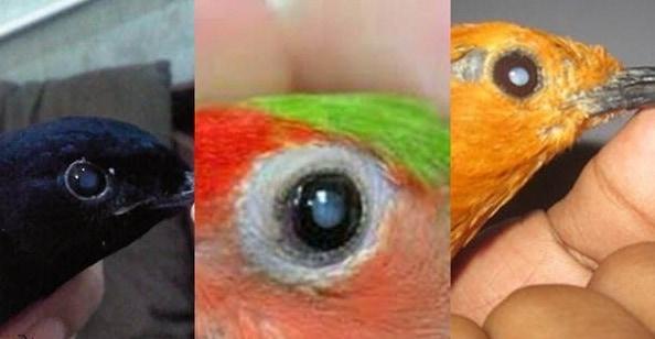 5 Macam Penyakit Mata pada Burung