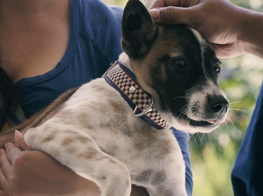 7 Cara Mengobati Cacing Pita Pada Anjing