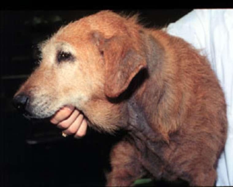 8 Cara Mengobati Dermatitis Pada Anjing