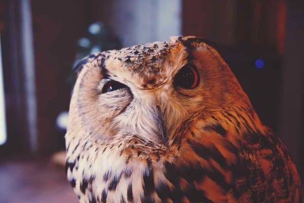 8 Cara Menghilangkan Bau Pada Burung Hantu