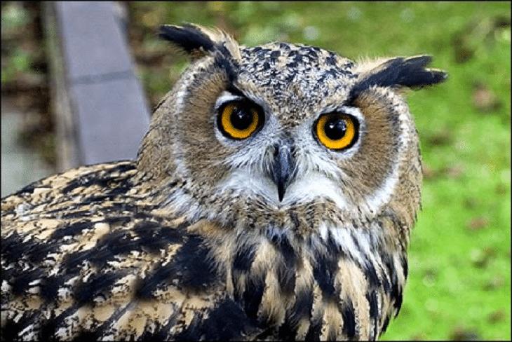 7 Cara Menghilangkan Stres Pada Burung Hantu