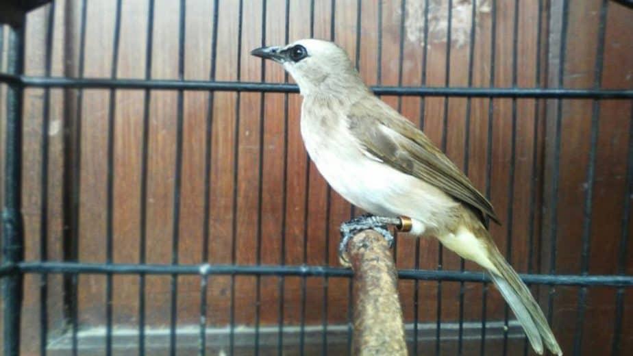 luang anda pun juga akan terisi oleh aktivitas ini 7 Cara Menghilangkan Suara Kutilang Pada Burung Trucukan