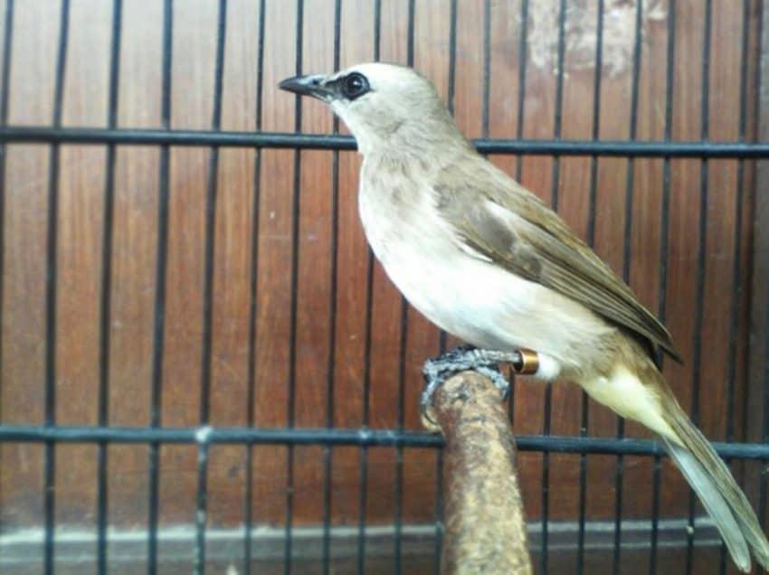 7 Cara Menghilangkan Suara Kutilang Pada Burung Trucukan