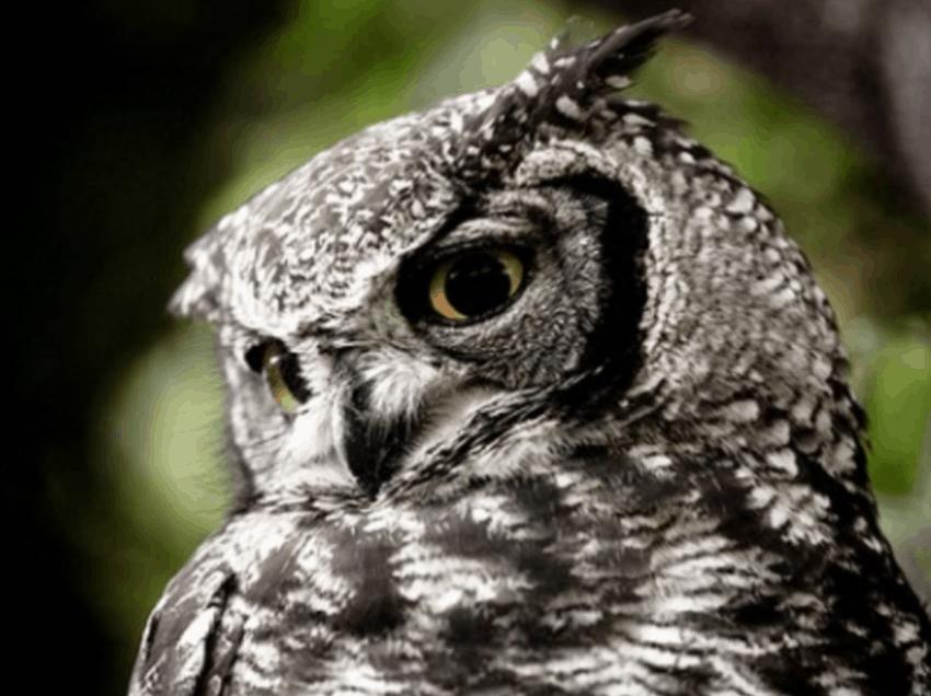 7 Cara Mengobati Frounce Pada Burung Hantu