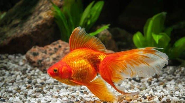 13 Tips Memelihara Ikan Koki