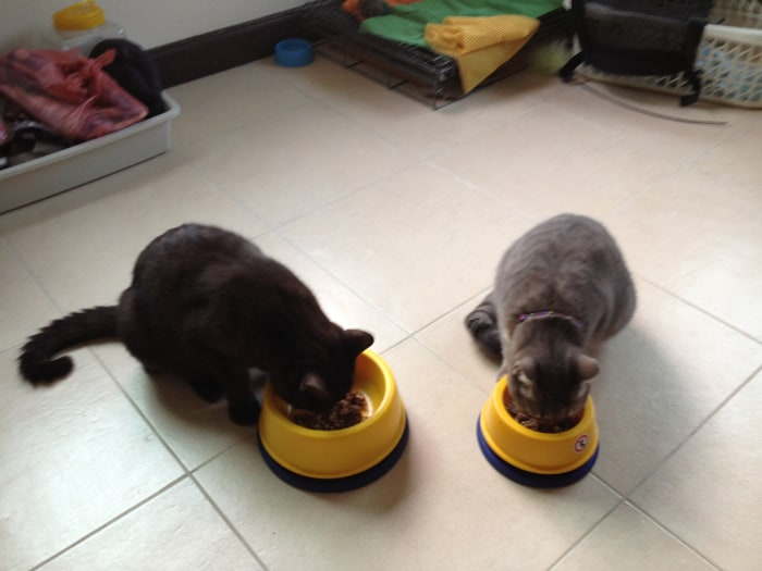 8 Cara Agar Makanan Kucing Tidak Disemuti