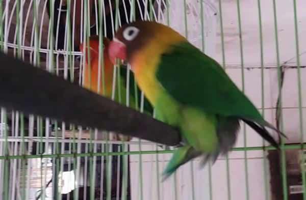 7 Cara Mengatasi Gestang Pada Burung Lovebird