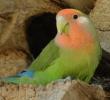 7 Cara Mengatasi Kegemukan Pada Burung Lovebird