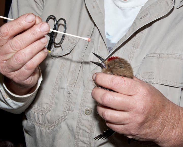 7 Cara Mengobati Luka Pada Paruh Burung Cendet