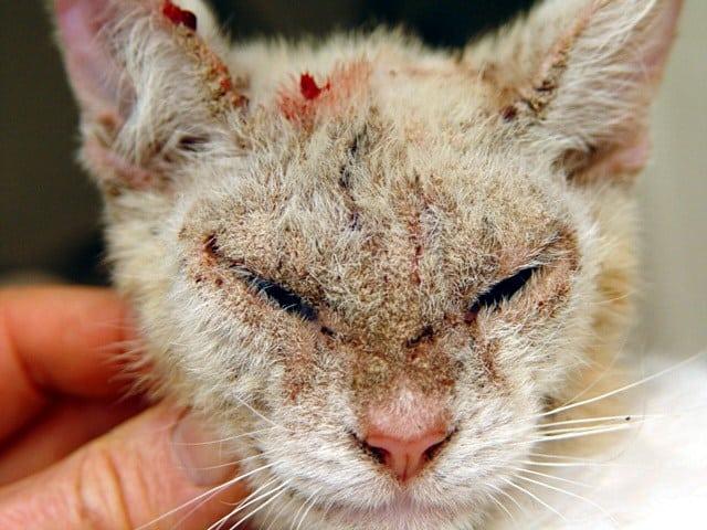Penyakit Pada Kucing Yang Menular Ke Manusia Yang Patut Diwaspadai