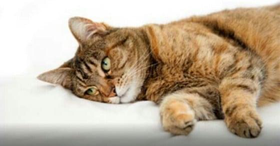 Gangguan Peredaran Darah Pada Hewan Kucing Yang Patut Diwaspadai