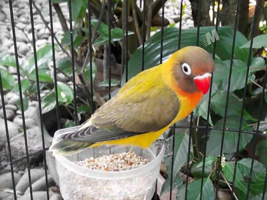 8 Manfaat Pakan Perkutut Untuk Lovebird Arenahewan Com