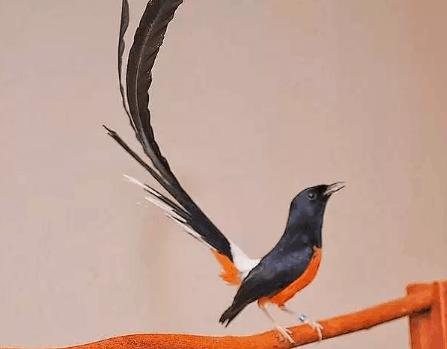 Manfaat Cacing Pada Burung Murai