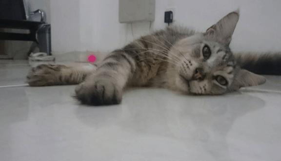 Manfaat Steril Pada Kucing Betina