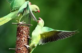 12 Manfaat Beras Merah untuk Burung Parkit