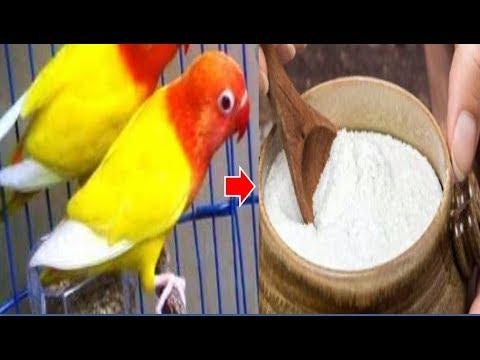 12 Manfaat Garam untuk Burung Parkit