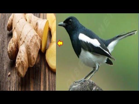 12 Manfaat Jahe untuk Burung Cendet