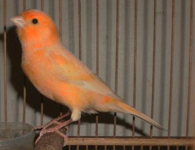 5 Cara Menjaga Warna Burung Kenari Tetap Bagus