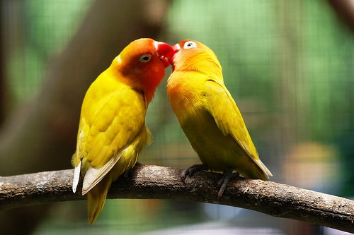 6 Cara Memilih Indukan Lovebird Untuk Dibudidayakan