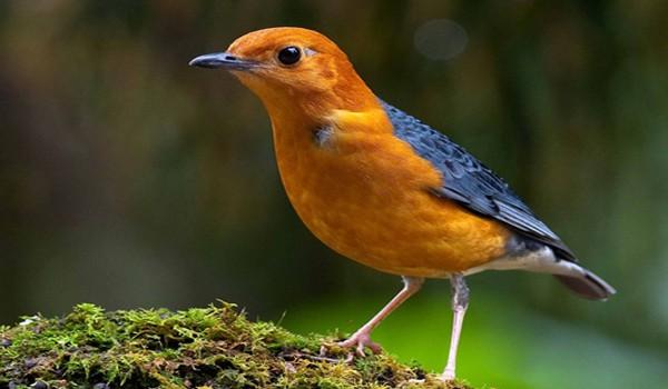 11 Manfaat Buah Pisang untuk Burung Anis merah