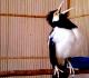 8 Tips Merawat Burung Jalak Suren Supaya Gacor