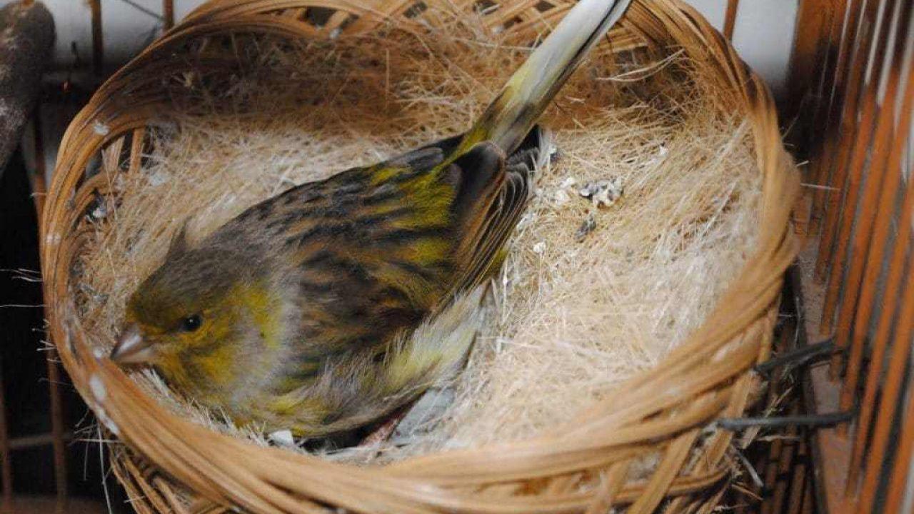 8 Cara Merawat Burung Kenari Saat Bertelur Arenahewan Com
