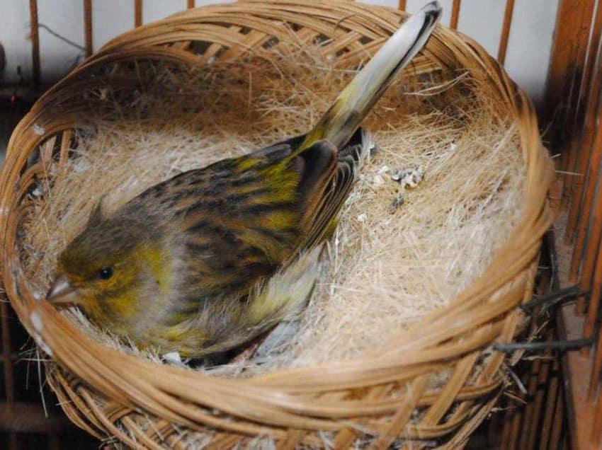 8 Cara Merawat Burung Kenari Saat Bertelur