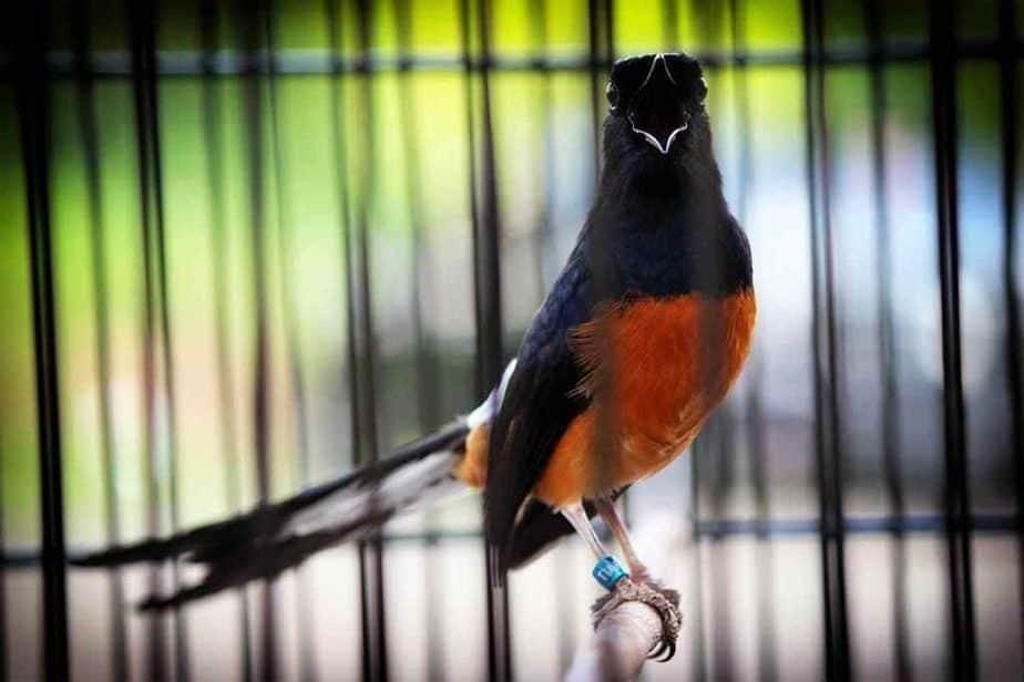mengenai bagaimana tips merawat Burung Jalak Kapas 8 Tips Merawat Burung Jalak Kapas