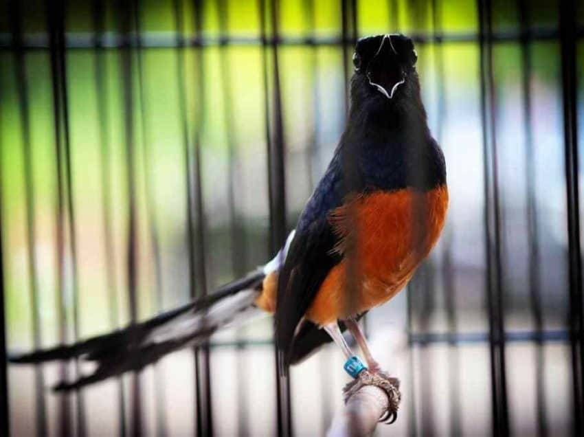 8 Tips Merawat Burung Jalak Kapas