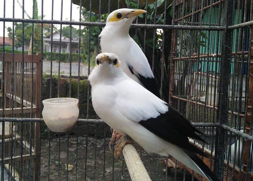 8 Tips Merawat Burung Jalak Putih