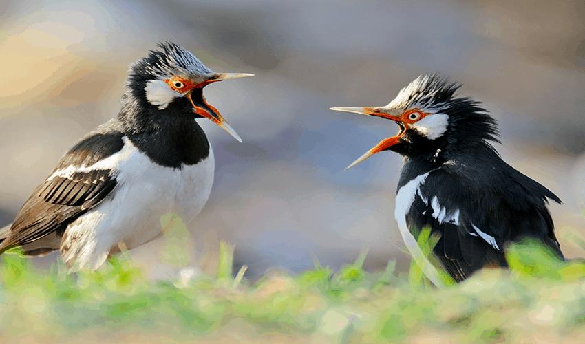 8 Tips Memilih Burung Jalak Suren yang Bagus
