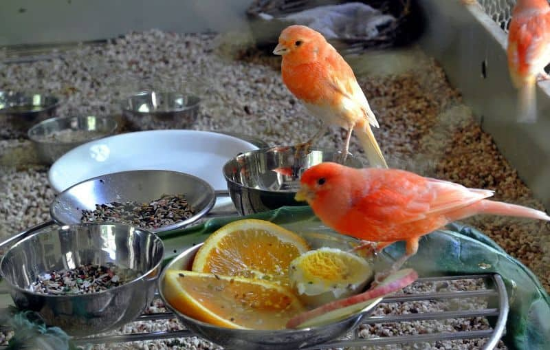 6 Jenis Vitamin Untuk Burung Kenari