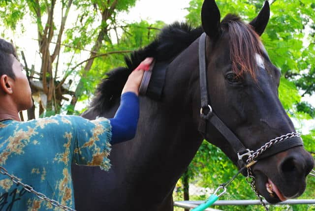 8 Cara Perawatan Kuda Balap