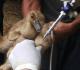 6 Jenis Vaksin Untuk Itik Petelur